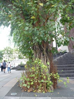 菩提树的静态在闹市显得格外泰然。