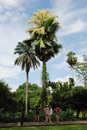 高耸的贝叶棕榈树开了花,引来许多访客前来欣赏。