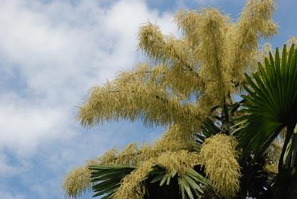 贝叶花盛开在树顶上,从分支冒出一串串奶油色的小花,多达2400万朵。